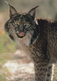 """8NN. """"The Iberian lynx (Lynx pardinus) is the world's most endangered cat species. -- """"Ayla's first tingle of fear was replaced by a chill of excitement...a stone from a sling could kill a wolf or hyena or lynx... On impulse, she decided the time had come for larger game...But the lynx caught the motion as she raised her arm. He turned his head as she hurled...It was with sheer reflex that she threw herself to the side as the annoyed lynx leaped for his attacker."""" p.203"""