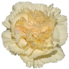 "Cream ""banana"" Carnations"