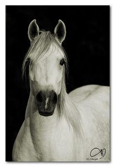 Arabian horse. I was raised on Quarter Horse type horses, but arabs have stolen my heart.
