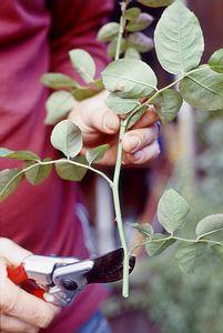Rózsa szaporítás, futórózsa szaporítás - gazigazito.hu Plants, Garden