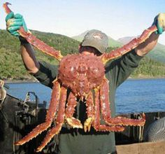 Monster Red King Crab
