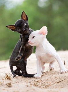 Cornish Rex kittens! I really want one!!!