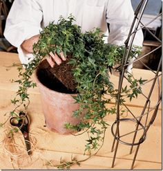 potting ivy for a topiary Outdoor Topiary, Topiary Garden, Topiary Trees, Topiary Plants, Topiaries, Container Gardening, Gardening Tips, Indoor Gardening, Diy House Projects