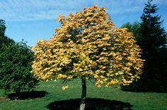 RHS Plant Selector Acer pseudoplatanus 'Brilliantissimum' AGM / RHS Gardening