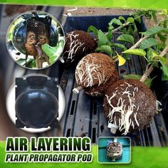 2020 - Plant Root Growing Box Air Layering, 3 Branches, Grow Boxes, Root System, Different Plants, Plant Growth, Green Plants, Propigating Plants, Garden Boxes