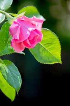 Beautiful Pink Rose Picture