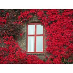 Crimson flowers grow up wall and blossom around window in a shocking display of color. <3