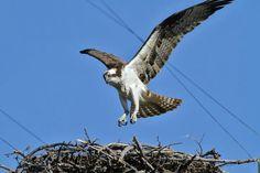 Osprey Bird Poster, Raptors, Bald Eagle, Animals, Animales, Animaux, Animal, Animais