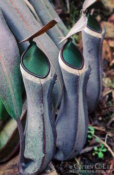 Nepenthes albomarginata a.k.a. pitcher plant. Native to Borneo, Peninsular Malaysia & Sumatra. (Carnivorous)