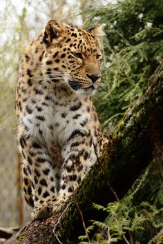 ffcec182b43 Amur leopard by Andre Promnitz  - indigenous to Asia