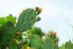 Opuncie: Kaktusy, ktoré prežijú aj mráz a sneh | Záhrada.sk