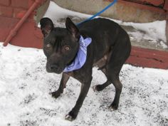 URGENT - Brooklyn Center   TINY - A0990382   FEMALE, BL BRINDLE, PIT BULL MIX, 4 yrs  OWNER SUR - EVALUATE, NO HOLD Reason MOVE2PRIVA  Intake condition NONE Intake Date 01/25/2014, From NY 11208, DueOut Date 01/28/2014, MAIN THREAD: https://www.facebook.com/photo.php?fbid=747825445230337&set=a.747811878565027.1073742901.152876678058553&type=3&theater