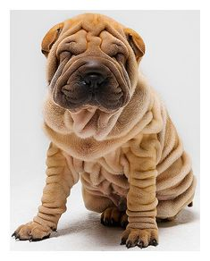Ba-Shars are wrinkley like Bulldogs are, get in my life!
