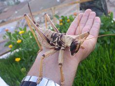 Female katydid of the genus Saga Photo credit: mgunbey on Deviantart