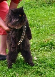 "Mewbacca. Cat standing with a bandolier photoshopped on. Star Wars ""Chewbacca cat"""