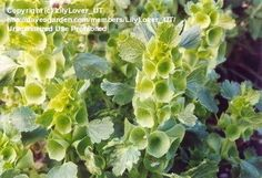 "Moluccella laevis (Bells of Ireland). Best if left to self-sow, then thin in early spring to 10"" apart. Tie up to keep rain and wind from collapsing the stem. Very difficult to propagate indoors. If sowing seed for the first time, scatter in fall and cover with a floating row cover for the winter."