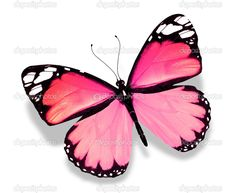 Blue Butterfly Discover Pink butterfly isolated on white background Stock Photo .