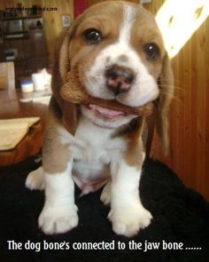 For the pure love of beagles!!