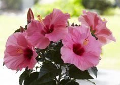 Kasvata kiinanruususta kukkaikkunan kaunotar. Katso ohjeet Viherpihasta ja onnistu!