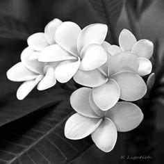 Plumeria - Kerri Ligatich