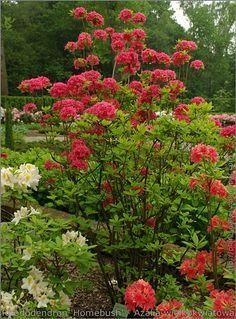 IMGP7485 Rhododendron 'Homebush' - Azalia wielkokwiatowa.JPG (442×599)