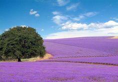 Lavender fields outside of Fredericksburg, Texas