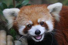 Meet Idgie, a happy red panda living at the Atlanta Zoo. Scary Animals, Happy Animals, Nature Animals, Animals And Pets, Cute Animals, Cubs Pictures, Animal Pictures, Red Panda Cute, Atlanta Zoo