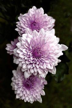 lavender Dahlias http://milanspa.vn/dich-vu/tri-hoi-nach/benh-hoi-nach-co-the-chua-khoi-hoan-toan.html