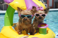 Two Yorkies know how to have fun in the sun!