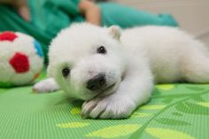 A new polar bear cub born in an Ohio zoo is bringing way more than a barrel of cuteness to the exhibit