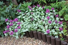 Lamium- drought tolerant (once established) shade ground cover Lavender Flowers, Purple Flowers, Shade Garden, Garden Plants, Perennial Border Plants, Ground Cover Plants, Woodland Garden, Garden In The Woods, Shade Plants