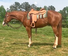 BID NOW for Show Horses, Prospects & Breeding Stock Selling in the May… Western Pleasure Horses, Horse Saddles, Show Horses, Westerns, Auction, Internet, Saddles, Race Horses