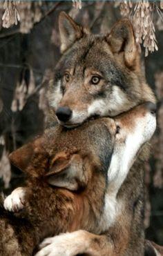 I love wolves.