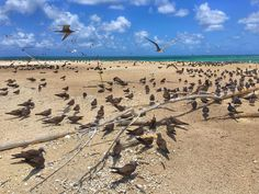 Bird Breeding season on the small but significant Michaelmas Cay on the Great Barrier Reef #ontheloose #australia #greatbarrierreef #cairns #travelphotography #adventure by taranap http://ift.tt/1UokkV2