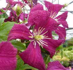 Italian Leather Flower, Purple Clematis 'Madame Julia Correvon' (Clematis viticella)
