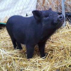 miniature potbelly pigs - Google Search