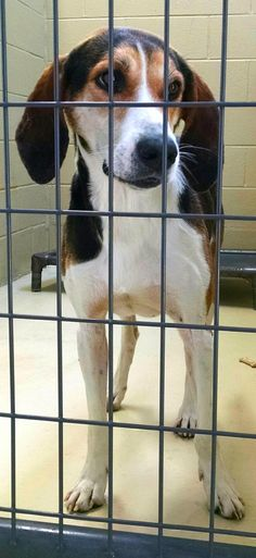 Bruce is an adoptable Hound searching for a forever family near Clarksville, VA. Use Petfinder to find adoptable pets in your area.