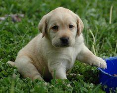 lablador,puppy,little,dog