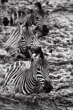 Africa | Zebras crossing the Mara river, Masai Mara, Kenya | ©Paul and Paveena Mckenzie ~ Wildencounters
