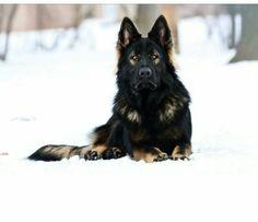 Jethro:  Gorgeous black sable German shepherd