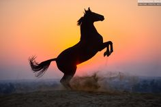 Photos of indian horse breed Marwari, photographed in India by Ekaterina Druz Equine Photography