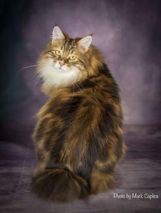 Bobby <3 Bobtail Cat, Cattery, Bobby, Cats, Animals, Gatos, Animales, Animaux, Animal