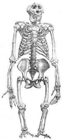 This drawing of a male gorilla skeleton illustrates their very short legs.