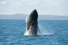 Reach for the sky! #herveybay @Blue Dolphin  #whalewatching