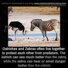 Ostriches and zebras often live together to protect each other from predators. The ostrich can see better and the zebra can hear or smell danger better.