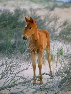 A Wild Pony on the Beach at Chincoteague Island