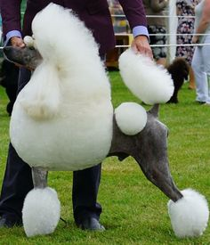 Love the skin color on this white standard poodle.