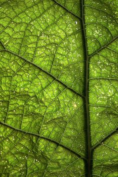 I really like the lines of the veins captured and the pattern. I like the way the lines move the viewers eyes around the leaf. The detail is very precise and the leaf is well lit. I also like the different shades of green.