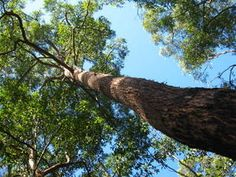 Eucalyptus  microcorys - Red trees