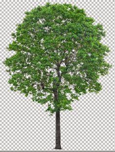 Thư viện cây Photoshop (phần 3) - 60 cây to bóng mát file chuẩn đã tách nền | NHÀ THÔNG MINH
